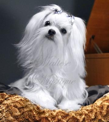 Maltese-Maltese-Dog-Boo-3.jpg