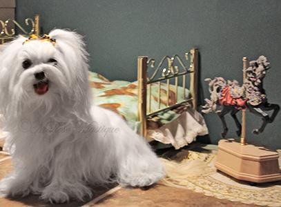 Maltese-Mystique-Dog-Penny-3.jpg