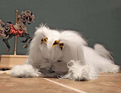 Maltese-Mystique-Dog-Penny-4.jpg