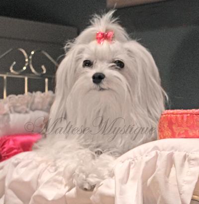 Maltese-Mystique-Dog-Scarlet-2.jpg