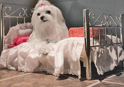 Maltese-Mystique-Dog-Scarlet-3.jpg