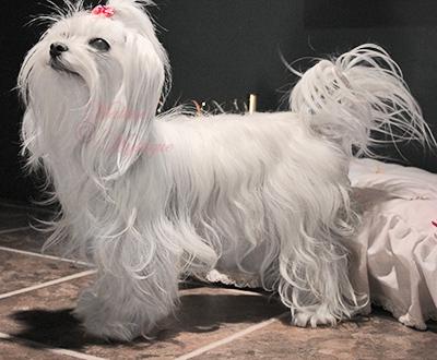 Maltese-Mystique-Dog-Scarlet-4.jpg