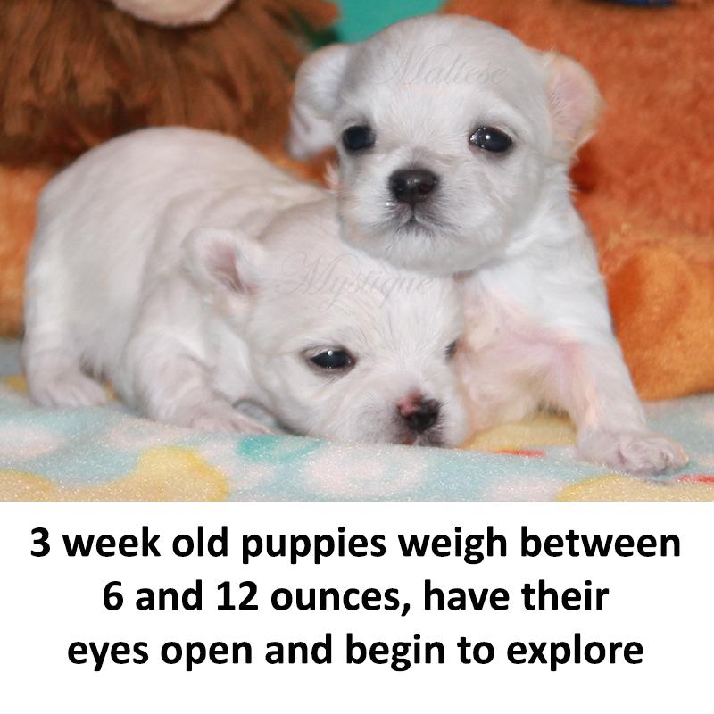 3-week-old-Maltese-Puppies.jpg