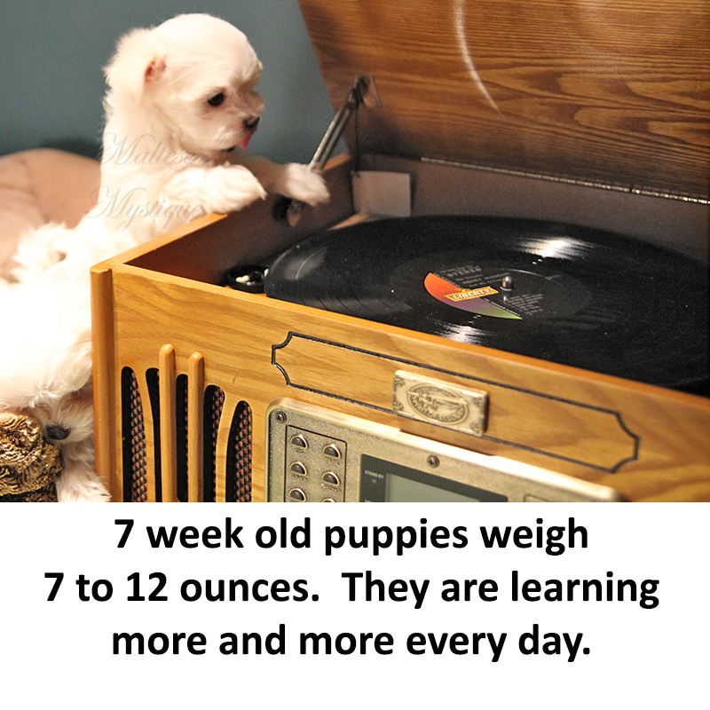 7-week-old-Maltese-Pups.jpg