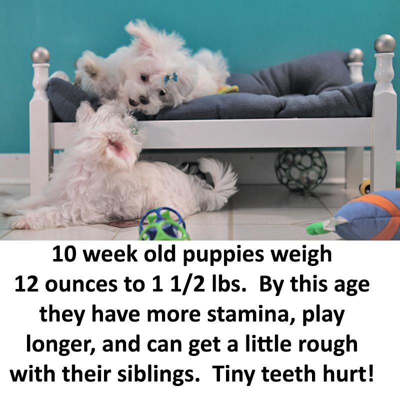 10-week-old-Maltese-Pups.jpg