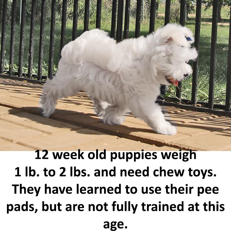 12-week-old-Maltese-Pups.jpg