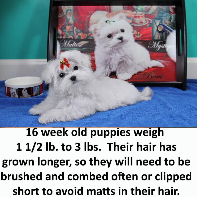 16-week-old-Maltese-Pup.jpg