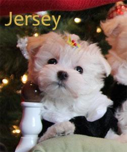 Maltese-puppy-Jersey-1w.jpg