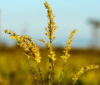 Goldenrod adds a splash of yellow to your landscape.