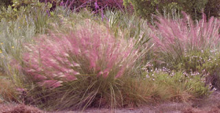 Muhly Grass looks like pink cotton candy from a distance.