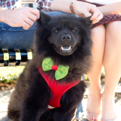 Oso (pronounced Oh-So...it's Spanish for Bear) MacKearney - The most important family member of us all. Don't let his fluff fool you. He's a real DIVA in disguise.  Photos by Paige Roberts Schicker of True Era Photography in Jacksonville, Florida.