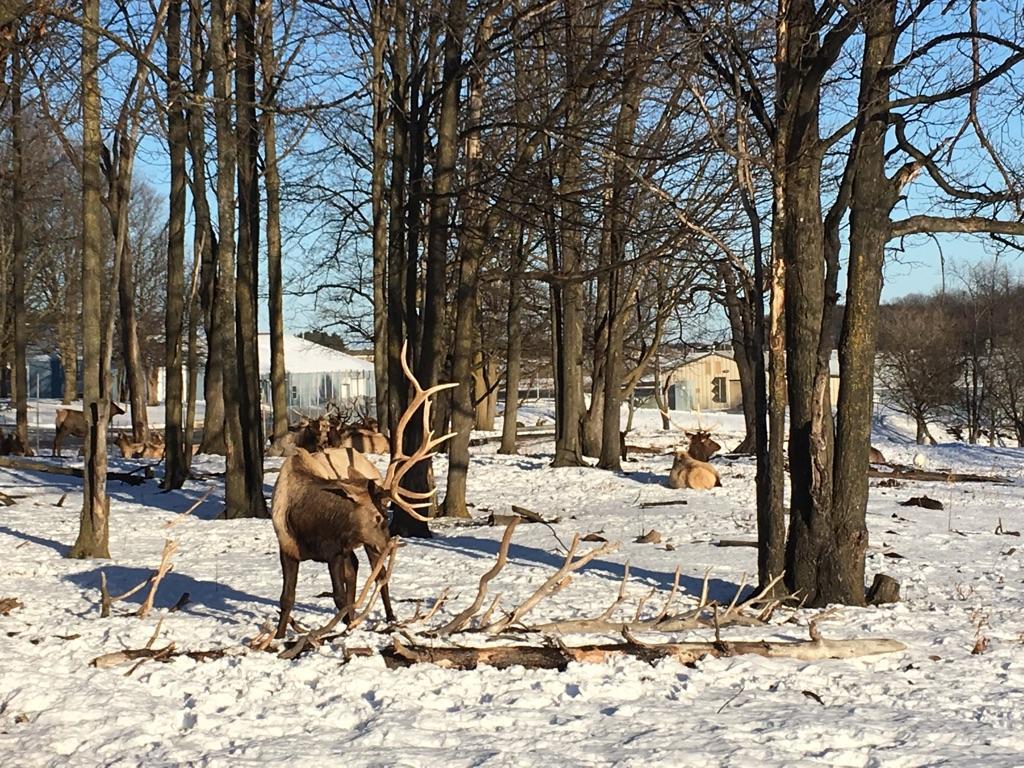Elk roam freely in Gaylord's City Elk Park.