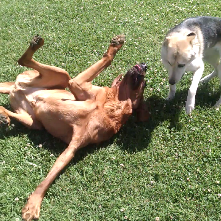 Jethro and Reece playing in the grass.