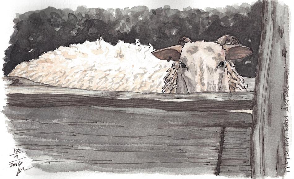 W16 12 11 PENTALIC DAN'S SHEEP 300.jpeg