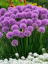 Allium, Millenium Variety
