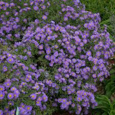 Aster, Kickin Blue Lilac
