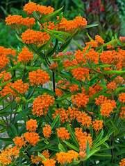 Butterfly Weed/Milkweed