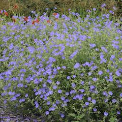 Geranium, Brookside Variety