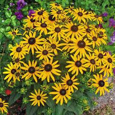 Rudbeckia, Little Goldstar Variety