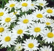 Shasta Daisy, Snowcap Variety