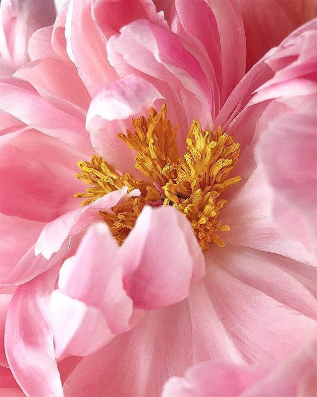 Friday I'm in love 🌸 • • • #friyay #weekend #relax #cheers #flowers #peony #peonyseason #traderjoes #sogood #love #peonies #pink #home #happy #instaflower #flashesofdelight #sodomino #getdecorated #orlovdesignco #heymama #dreamersanddoers #betheupside