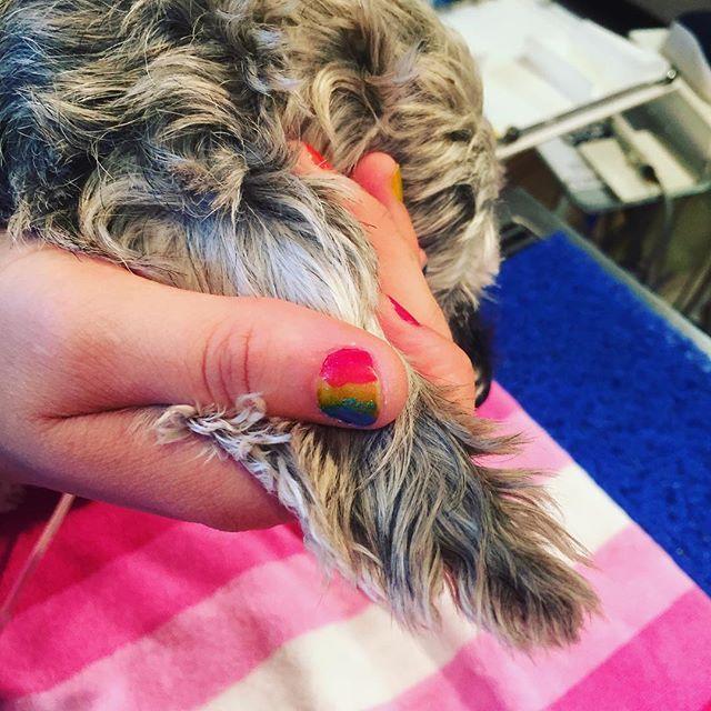 Happy Mardi Gras  Puppy getting some rainbow TTOUCH ear slides @allnaturalvet  #sydneylocal #vetsofinstagram #animalwellness #dogsofsydney #catsofsydney #mardigras2019 #mardigras