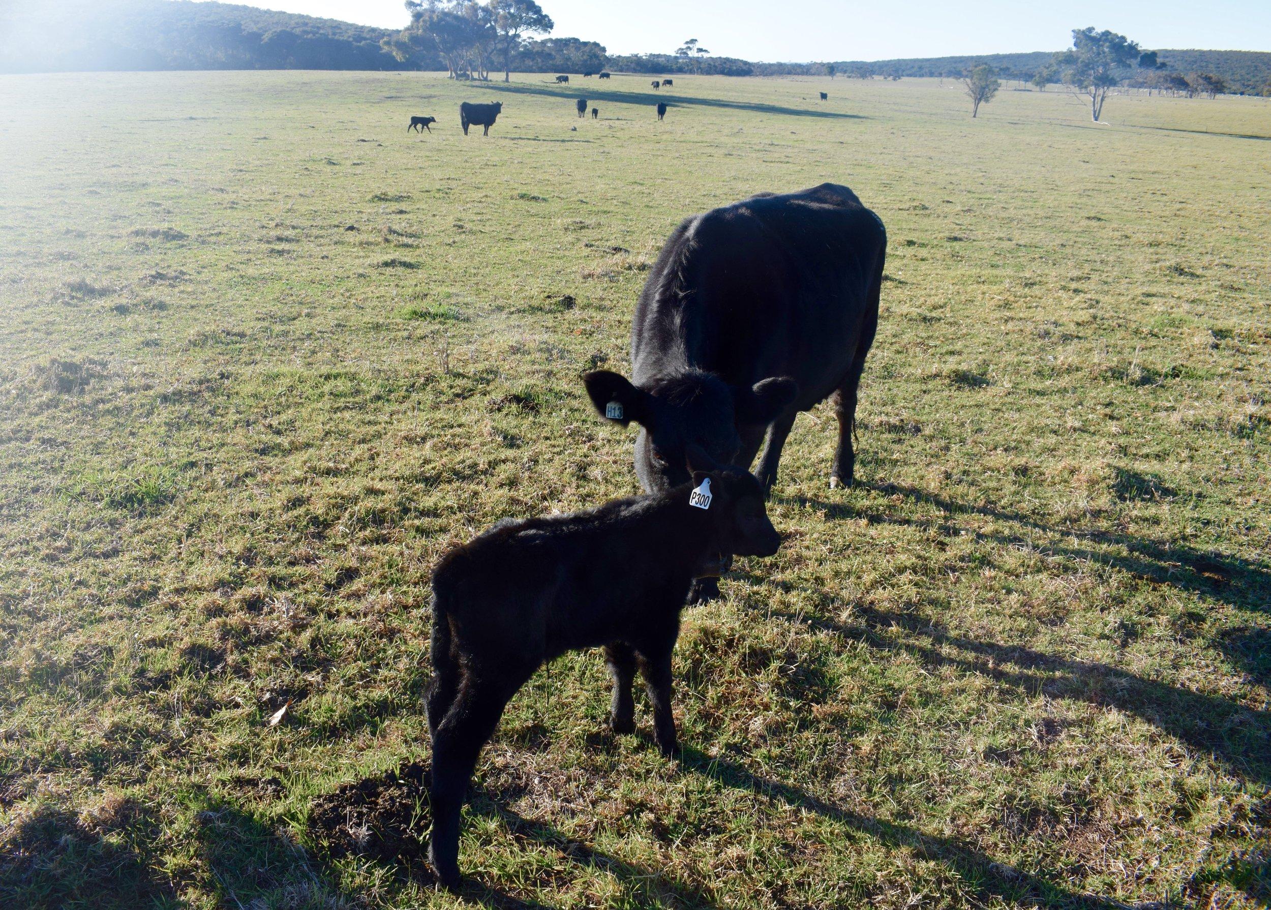 Calf number 300, a heifer weighing 37kg!