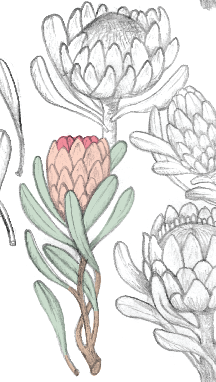 Pink Protea Illustration: Sketchbook by Jessie Tyree Jenness