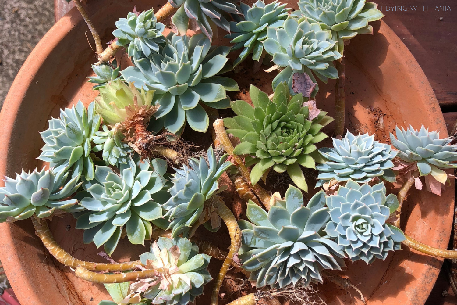 Succulents ready to repot | Tidying with Tania