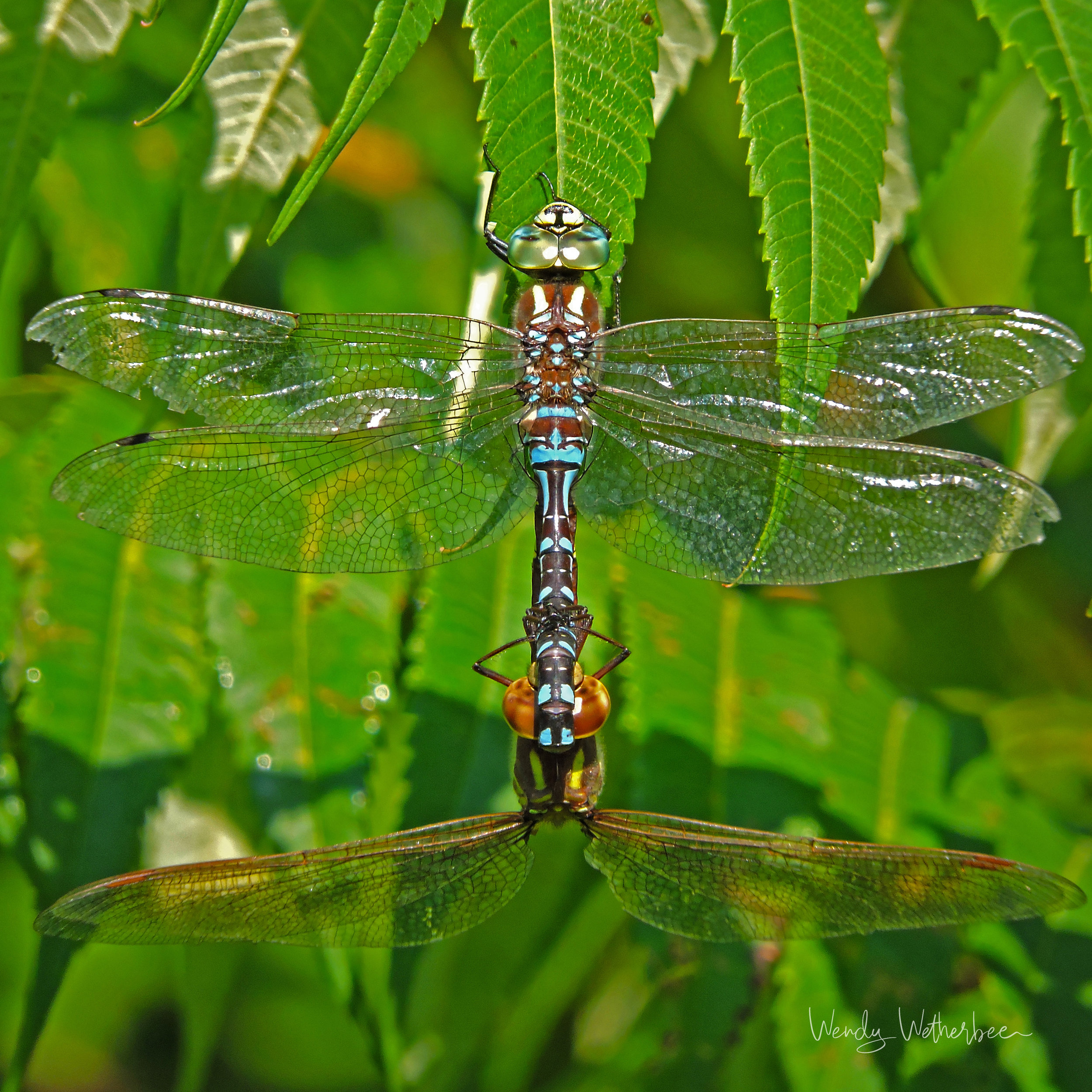Double Dragonfly. © Wendy Wetherbee