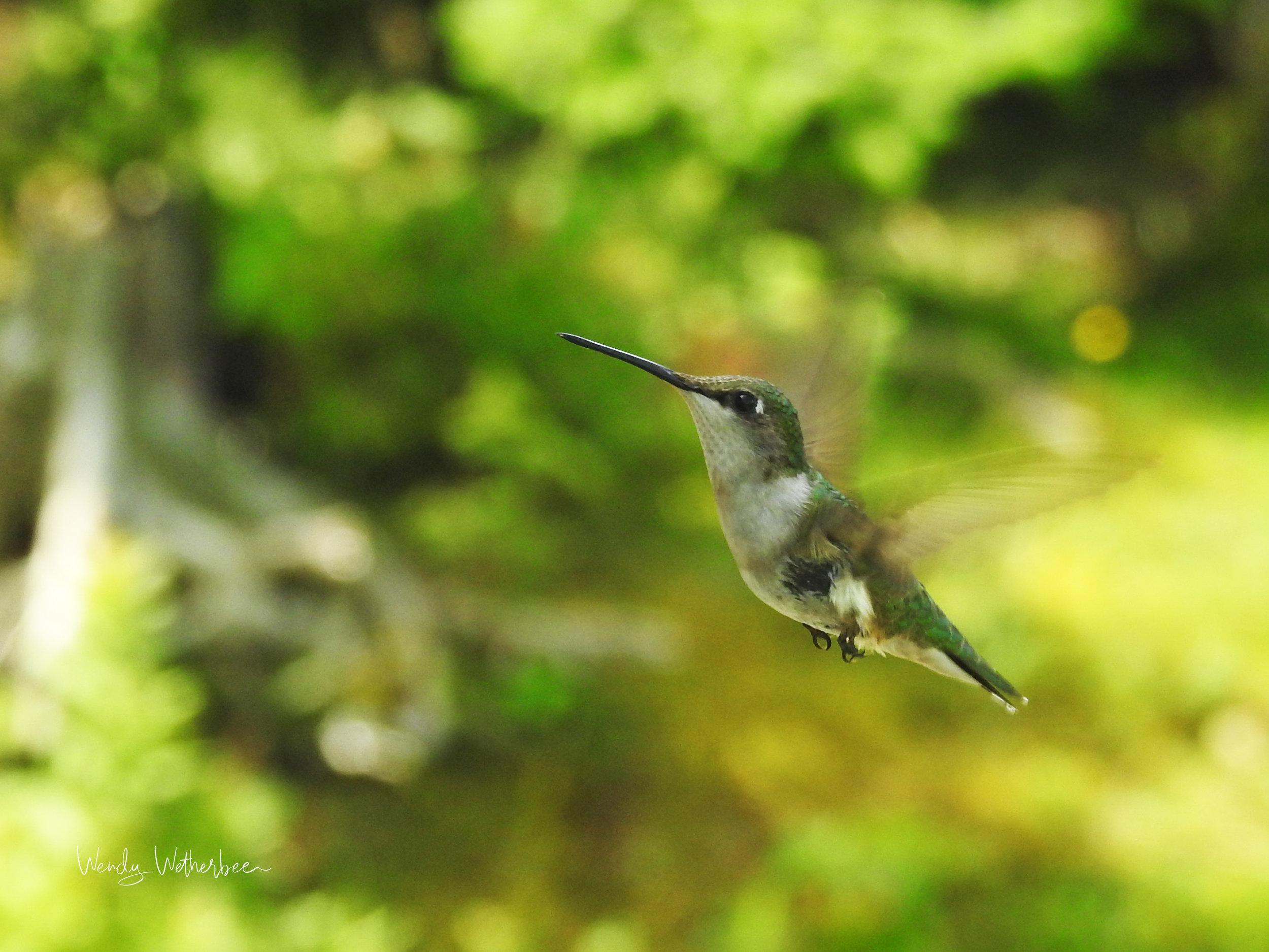 Xena - Warrior Princess - Ruby Throated Hummingbird © Wendy Wetherbee