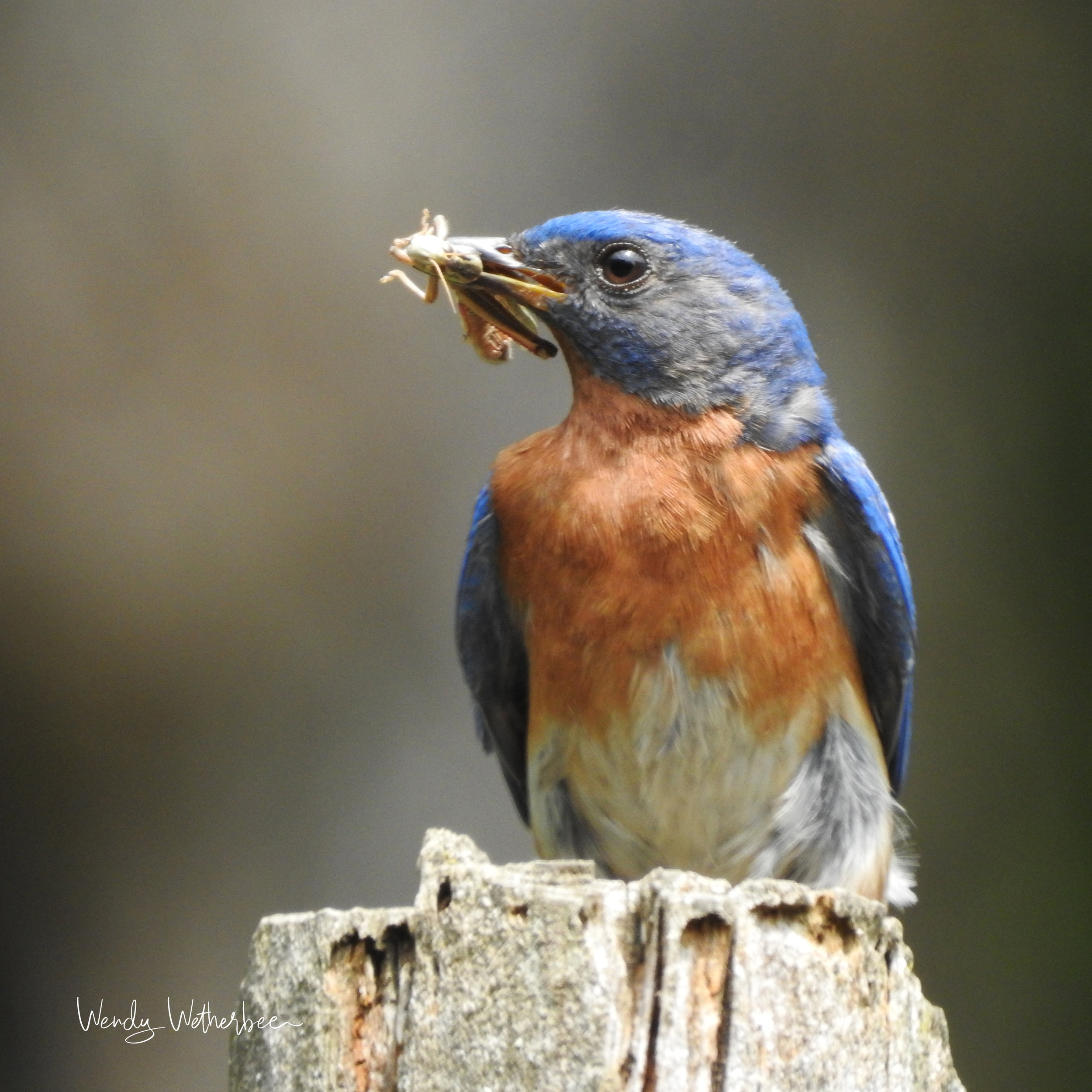 Bluebird with Breakfast for Babies © Wendy Wetherbee