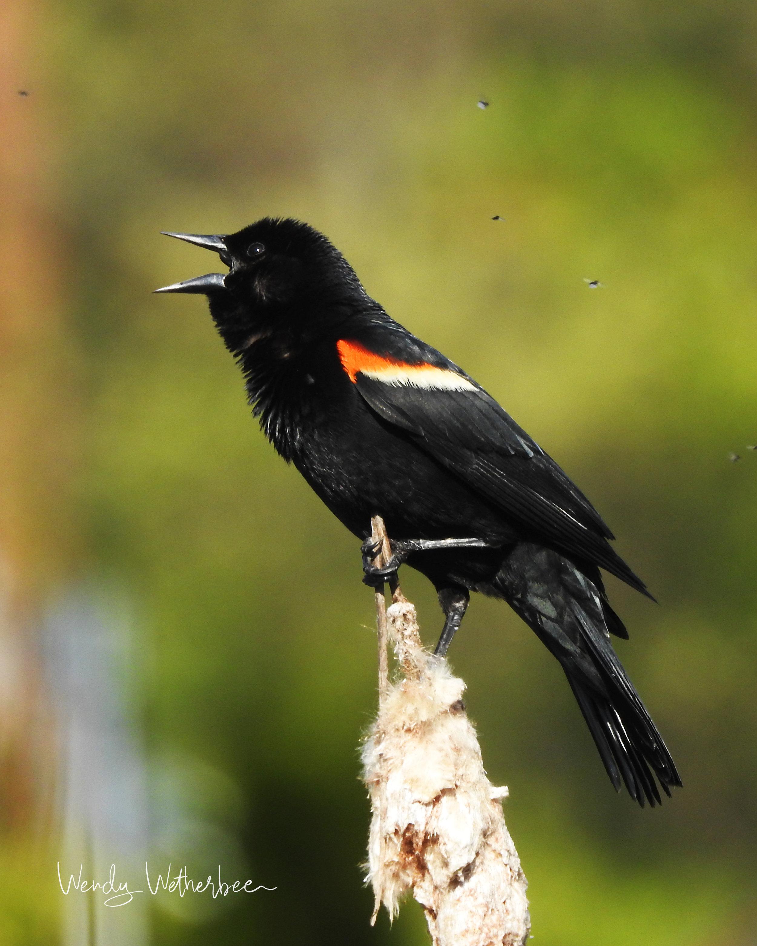 Stop Bugging Me. Red Winged Blackbird. © Wendy Wetherbee
