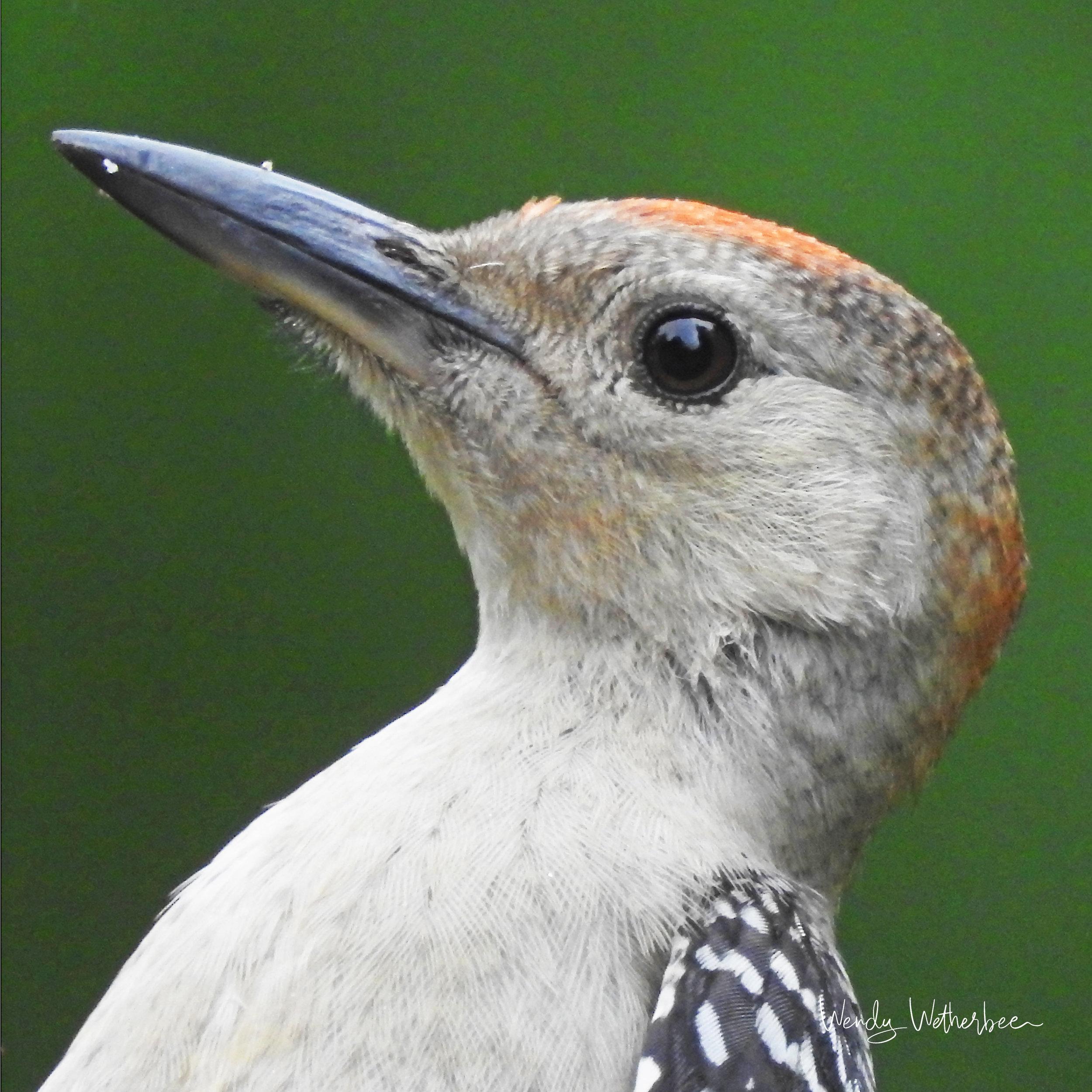 Portrait of a Red Bellied Woodpecker Fledgling © Wendy Wetherbee