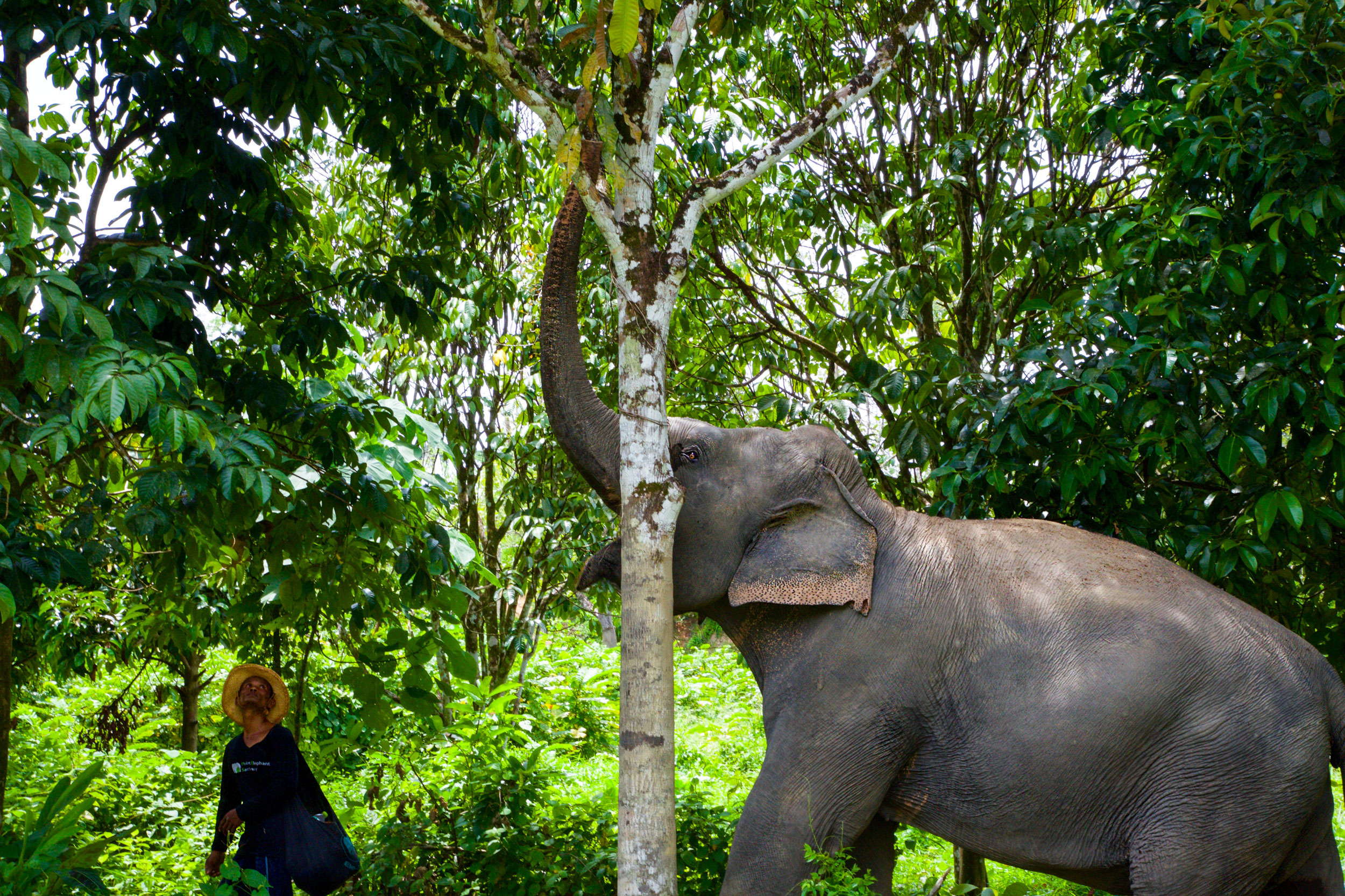 Kannika reaching for her lunch with her mahout.