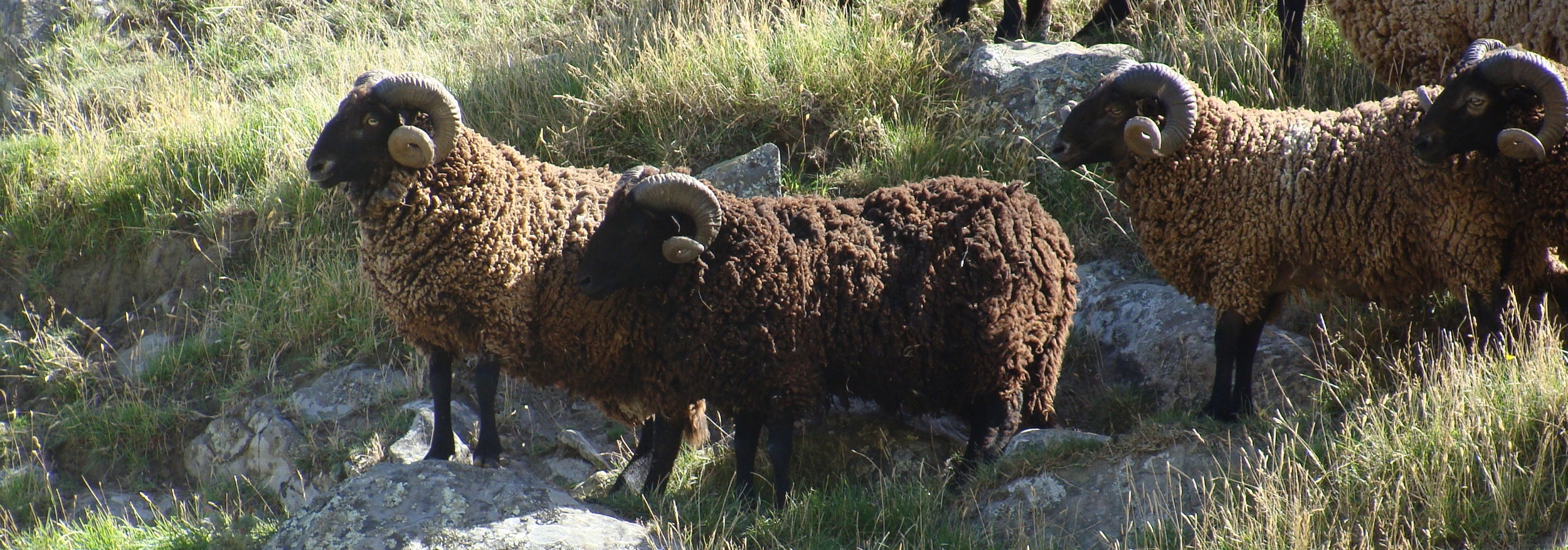 Pihepe, naturally nurtured. Pitt Island Wild Sheep. Organically grown and ethically treated.