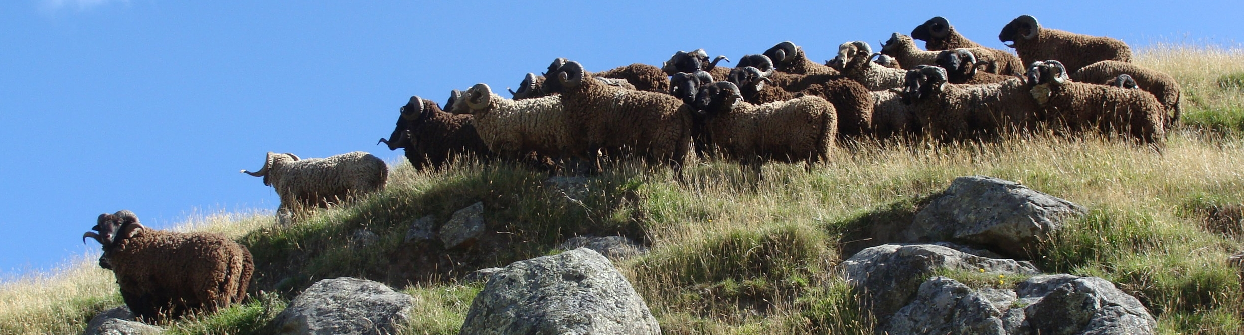 Pihepe_Rams_Banks_Peninsula_Organically_grown_ethically_treated