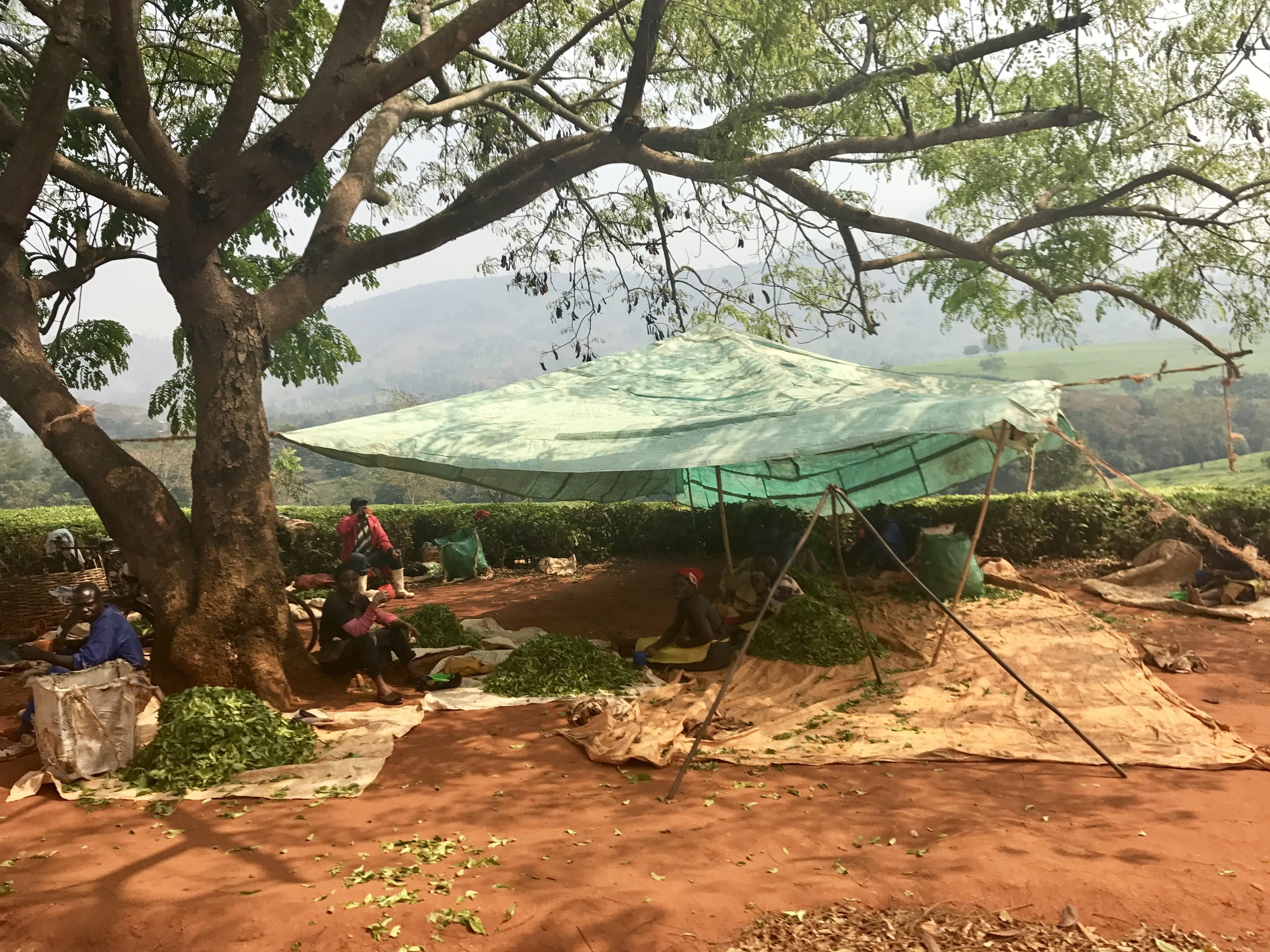Tea-pickers take a break in the shade and wait to weigh their bags