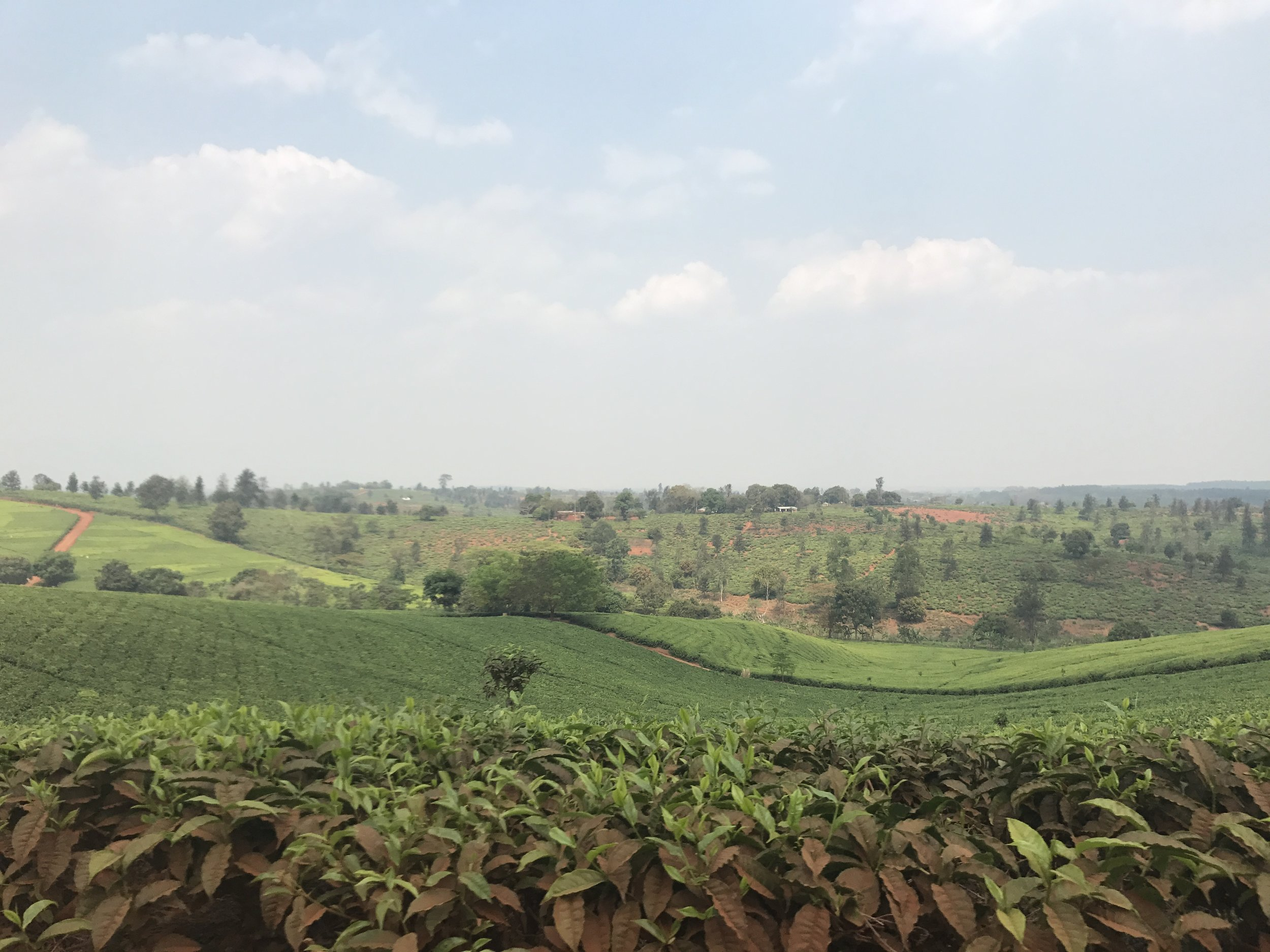 This is one of the only places in the country with the right climate to grow tea. No wonder it was popular with the Brits!
