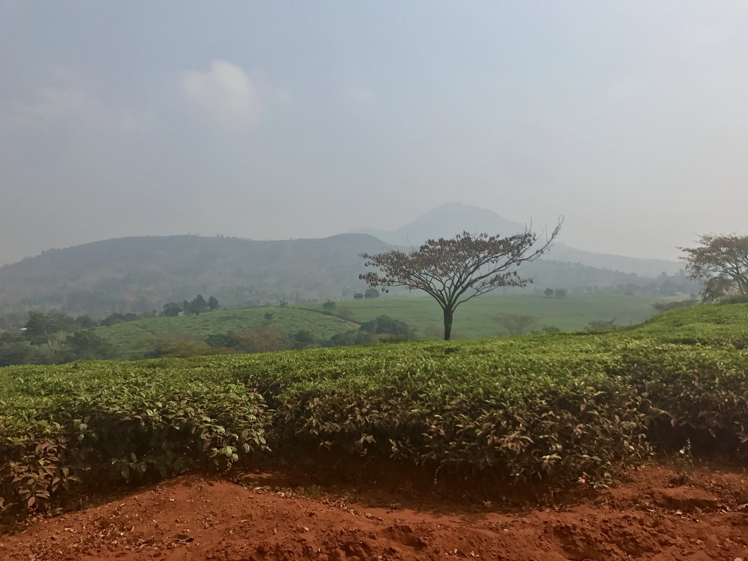 The tea plantations stretch as far as the eye can see, right up to the edge of the road