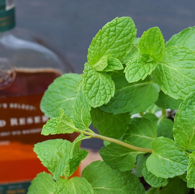 """And they're off!"" 🐎 🎺 The #kentuckyderby may only last two minutes but you can drink our Lavender #mintjulep all day! - Did you know there is an official Derby mint? Of course there is, it's called Kentucky Colonel Spearmint. It is one of our favorites to grow - it tastes great and has showy, vibrant green leaves. Looking for the perfect Julep recipe? Try ours... . . DOWN & DERBY  1 oz Gardenaire Lavender + Mint syrup 2 oz Woodford Reserve (or your favorite) Bourbon Fresh mint leaves Crushed ice . . Mix syrup and bourbon and pour into glass filled with crushed ice. Stir with a bar spoon. Garnish with mint sprig and serve.  #feelingluckyinkentucky #derby #bourbon #kentucky"