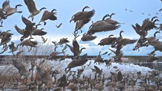 Scattered Geese - David Woodard