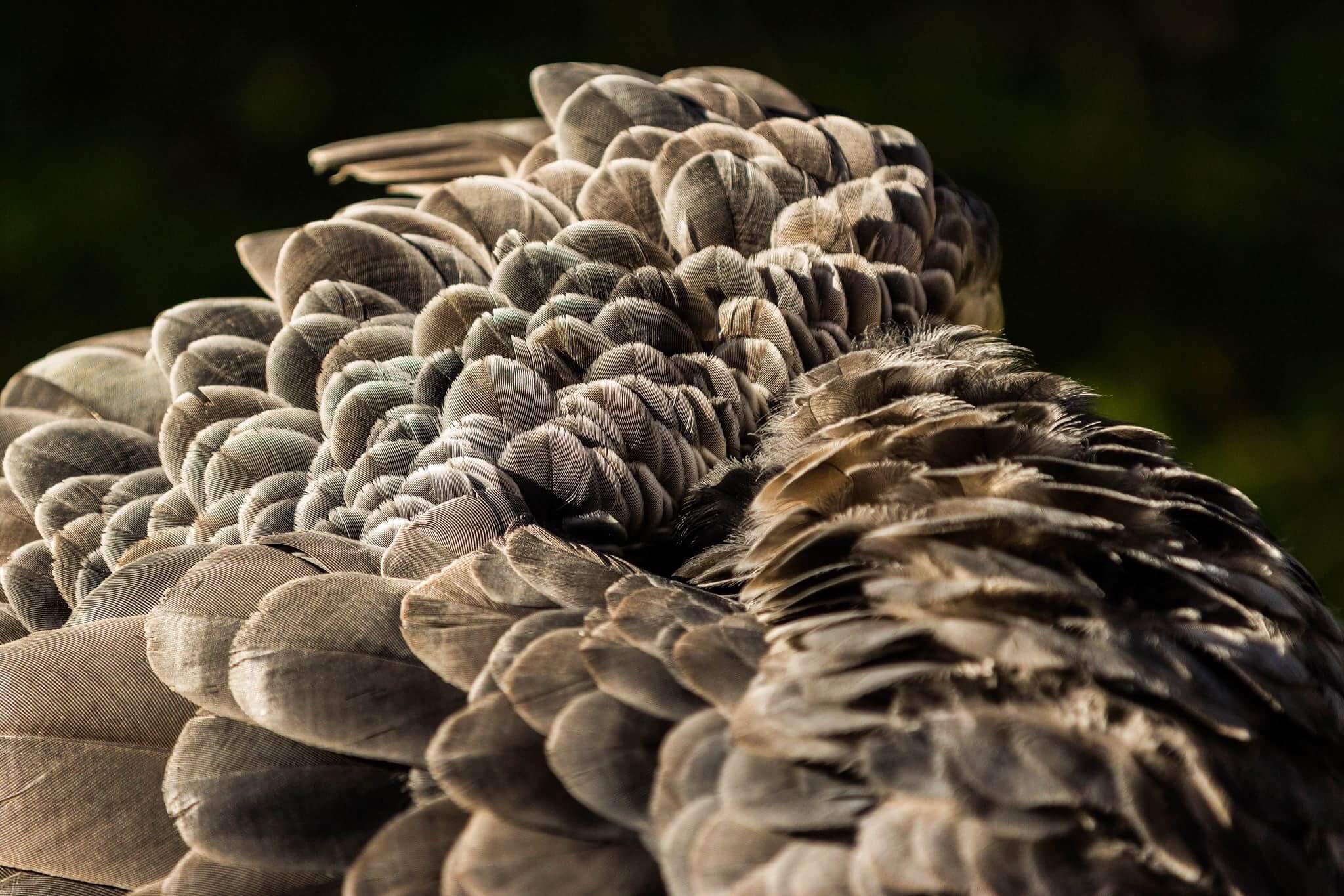 Peacock Feathers - Marci Konopa