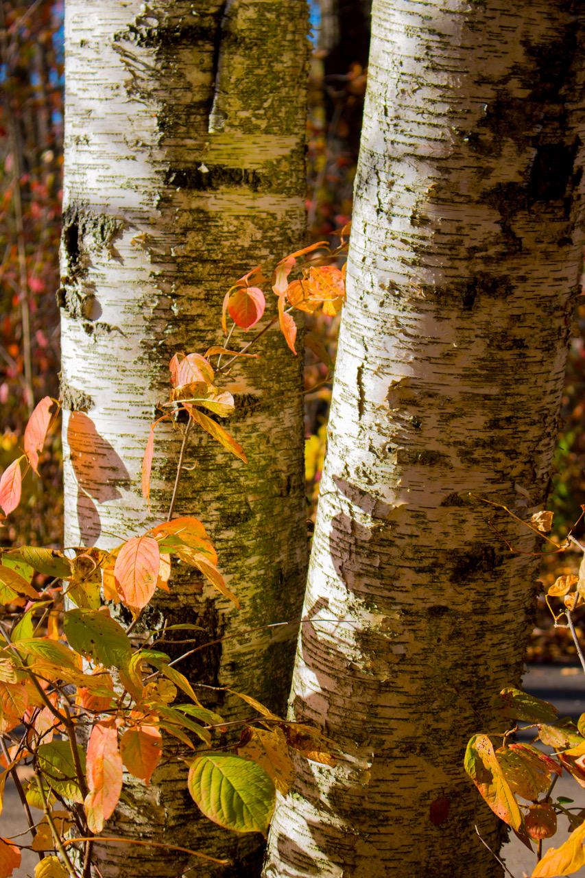 Autumn Birches - Charlie Trimburger