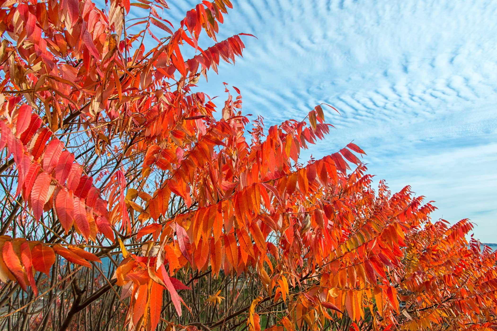 Fall Sumac Leaves - Phyllis Bankier