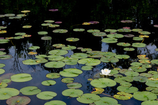 Water Lily Reflections - Charles Trimberger