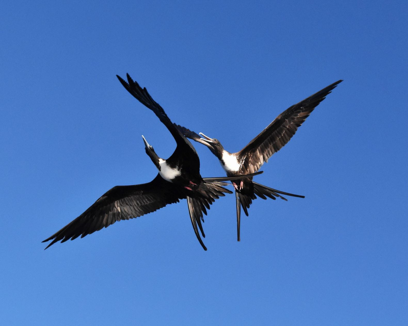 Nature 2nd place - Fighting Frigatebirds - Steve Morse