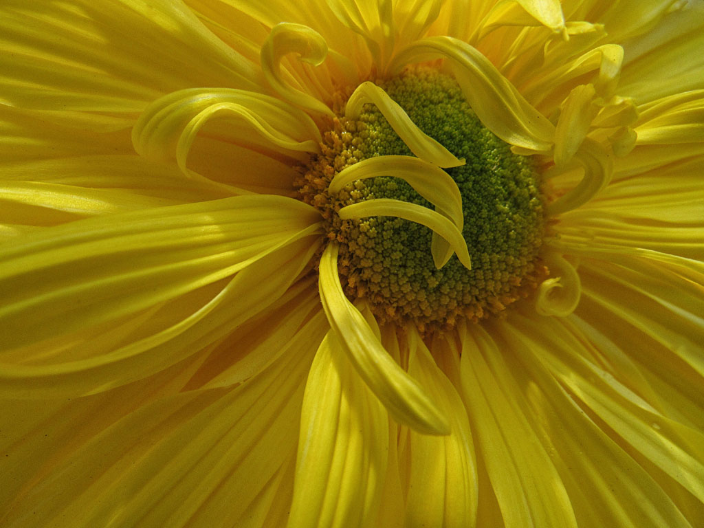 Nature 3rd place - Yellow Mum - Priscilla Farrell
