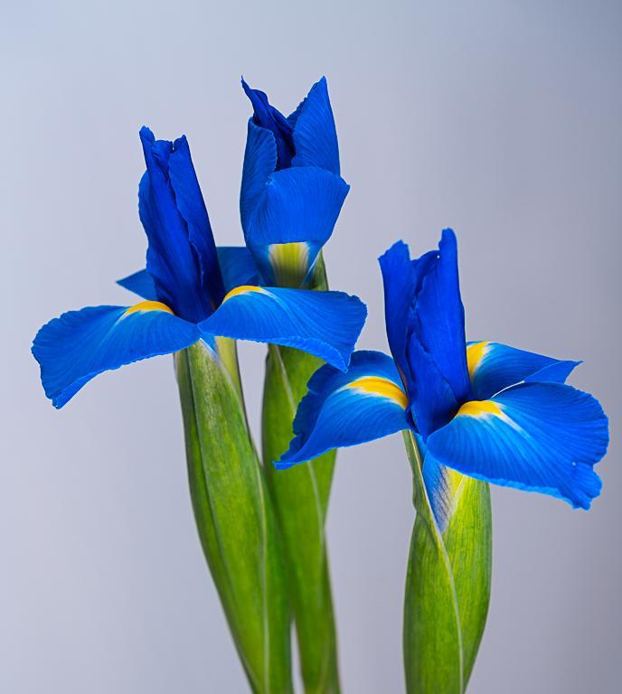 April 2019 - Blue Iris Flowers - Diana Duffey