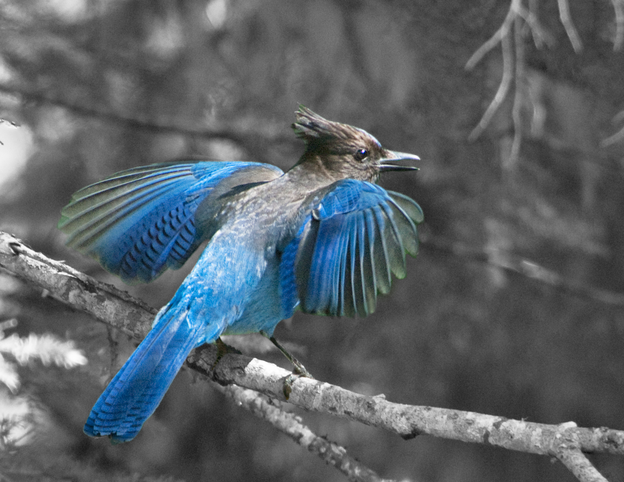 3rd place - Blue Jay - Phyllis Bankier